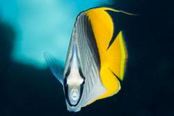 BD-131209-St-Johns-0999-Chaetodon-auriga.-Forsskål.-1775-[Threadfin-butterflyfish.-Flaggfisk].jpg